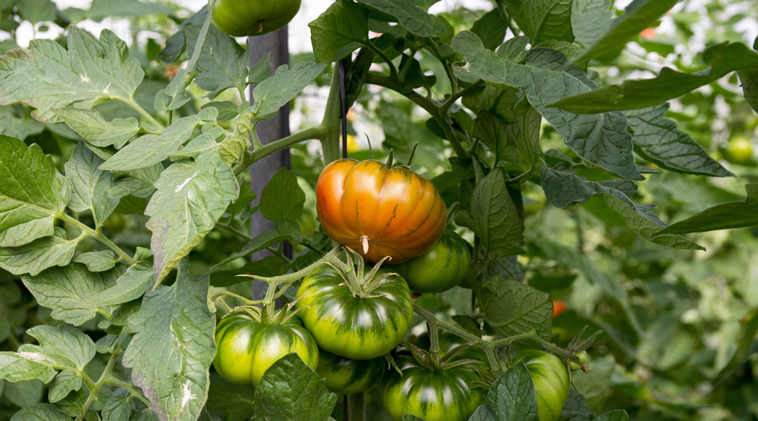 You are currently viewing Why is it good to graft ribbed tomato with Blue and Red Devil? Here a cultivation example in extreme conditions.