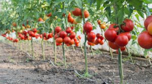 Read more about the article Which grafting to choose for my tomato cultivation?