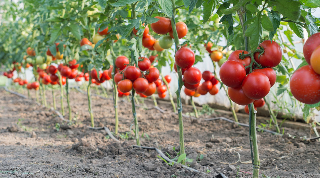 You are currently viewing Which grafting to choose for my tomato cultivation?